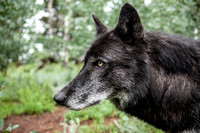 black timber wolf close up