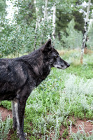 profile black timber wolf