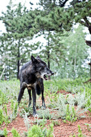 black timber wolf howl