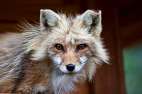 red fox close up